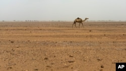 A lone camel walks in Niger's Tenere desert region of the south central Sahara on Wednesday, May 30, 2018. (AP Photo/Jerome Delay)