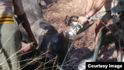 Rhino dehorning. (Photo: Courtesy - AWARE Trust in Zimbabwe)