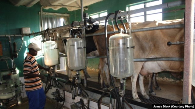 Weleda farm cows are milked electronically, by means of an elaborate system of suction valves and pumps.