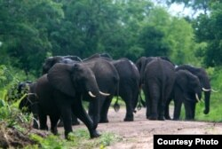 FILE - Elephants are pictured in the Selous Game Reserve. (Creative Commons)