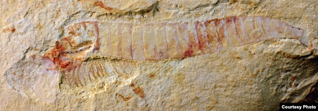 A complete specimen of Chengjiangocaris kunmingensis from the early Cambrian Xiaoshiba biota of South China. (Photo courtesy of Jie Yang)