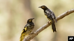 This 2015 photo provided by Lachlan Hall shows male regent honeyeater birds in Capertee Valley in New South Wales, Australia.