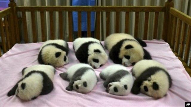 Ketujuh anak panda ini lahir tahun 2012 di Yayasan Penelitian Panda di Chengdu, Provinsi Sichuan (foto: dok). Tiongkok mengalami kesulitan mengembalikan panda-panda ini ke habitat aslinya.