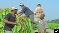 Moçambique Produz Tabaco para Exportação