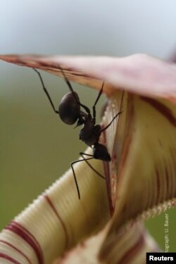 A worker ant collects sweet nectar from the trap of an insect-eating Nepenthes pitcher plant in this undated handout picture courtesy of Dr. Ulrike Bauer, University of Bristol, U.K.
