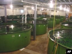 Modified Atlantic Salmon in tanks