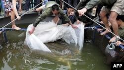 Rùa Hồ Gươm được đưa lên bờ để chữa trị các vết thương ngày 3/4/2011.