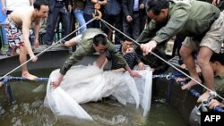 Rùa Hồ Gươm trong lưới