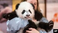 """动物饲养员尼麦考克在华盛顿国家动物园抱着4个月大的熊猫""""贝贝""""(2015年12月14日)"""