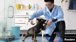 ایک چینی سائنس دان پولیس کے لیے کلون کیے جانے والے سراغ رسان کتے 'کنسن' کا معائنہ کر رہا ہے۔ 20 مارچ 2019