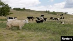 Cattle graze on a pasture affected by the recent drought on a farm near Fairy Hill, Saskatchewan, Canada, June 25, 2019. (REUTERS/Valerie Zink)