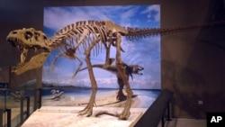 Скелет недавно обнаруженного динозавра Lythronax argestes. Музей естественной истории Юты.