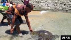 Timor-Leste community members care for turtles as part of a USAID program.