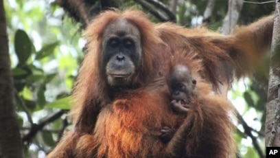 An overview of the species of monkeys orangutan
