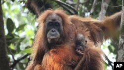 Orangutan dengan bayinya di Ekosistem Batang Toru di Tapanuli, Sumatra Utara, Indonesia. (James Askew / Program Konservasi Orangutan Sumatera via AP)