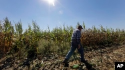 FILE - Larry Hasheider walking along one of his corn fields on his farm in Okawville, Illinois, Oct. 16, 2013.