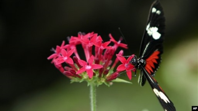 A Heliconius Charitonius is seen in the butterfly exhibit at the National Biodiversity Park near Heredia, Costa Rica (File Photo)