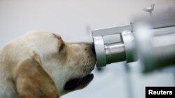 Seekor anjing yang terlatih mengendus virus COVID-19, tengah memeriksa sampel keringat dari petugas kesehatan di Universitas Chulalongkorn, di Bangkok, Thailand 21 Mei 2021. (REUTERS / Jorge Silva)