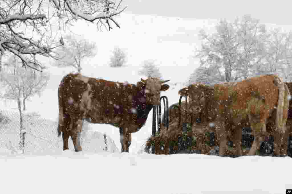 Cattle stand in a snow storm in the village of Tona near Barcelona, February 2, 2012. (Reuters)