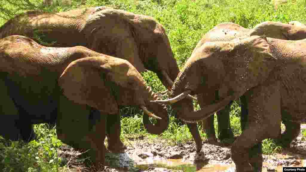 Os elefantes também brincam.