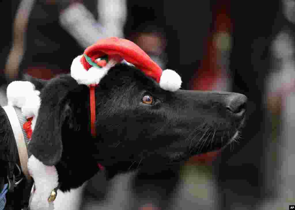 Seekor anjing mengenakan topi Sinterklas yang ikut dalam acara Athens Santa Run, di Athena, Yunani, Minggu, 7 Desember 2014.