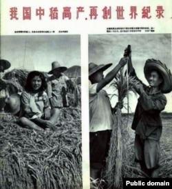 中国1958年大跃进期间的报刊照片显示人坐在密植的稻子上和测量稻株的长度。当时各地竞相伪造粮食高产,种下大饥荒恶果。