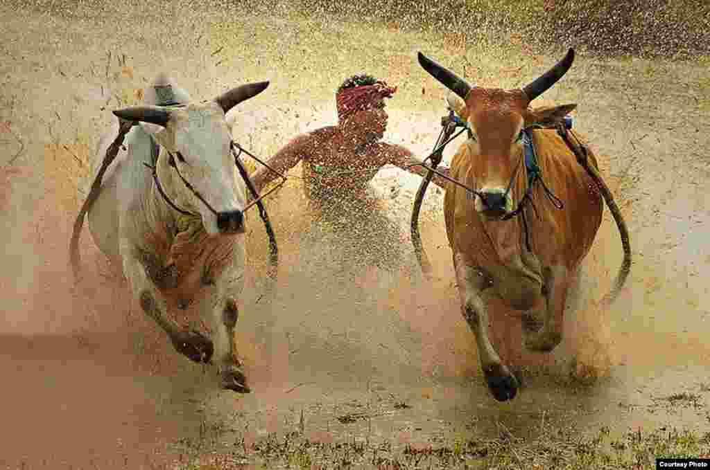 รางวัลที่ 3 - Dadan Ramdani จากอินโดนีเซีย ชื่อภาพ 'Bull Race'