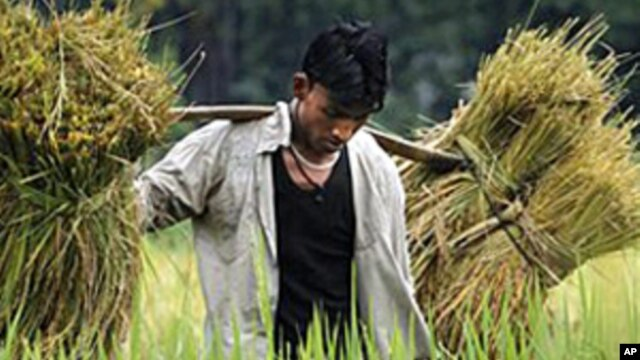 An Assamese farmer carries crops on his shoulder in a paddy field near Gauhati, India in May 2010.