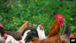 Κλείνουν προσωρινά πτηνοτροφικές μονάδες στην Γερμανία