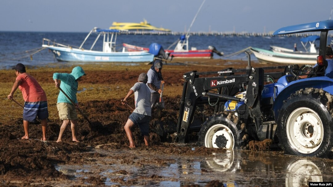 Smelly Seaweed Threatens Mexican Coast Tourism