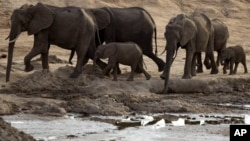 FILE: A herd of African elephants is pictured on Nov. 17, 2012, in Hwange National Park in Zimbabwe.