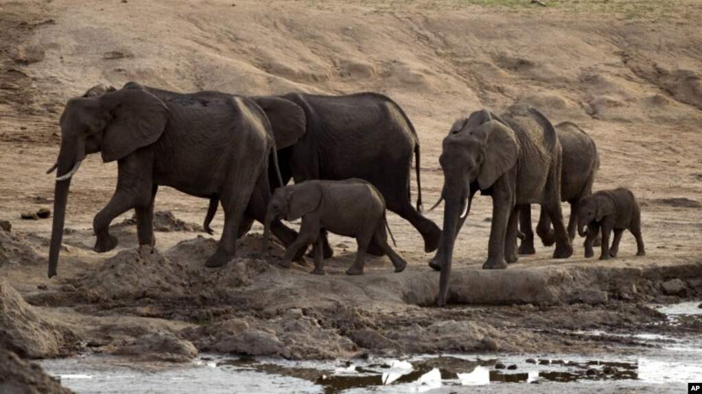 Elephant Advocates Sue Trump Administration On Trophy Hunting