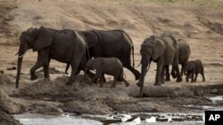 A herd of African elephants on Nov. 17, 2012, in Hwange National Park in Zimbabwe.