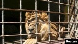 Un lion à l'intérieur de sa cage dans un zoo de Taiz, au sud-ouest du Yémen, le 22 février 2016.