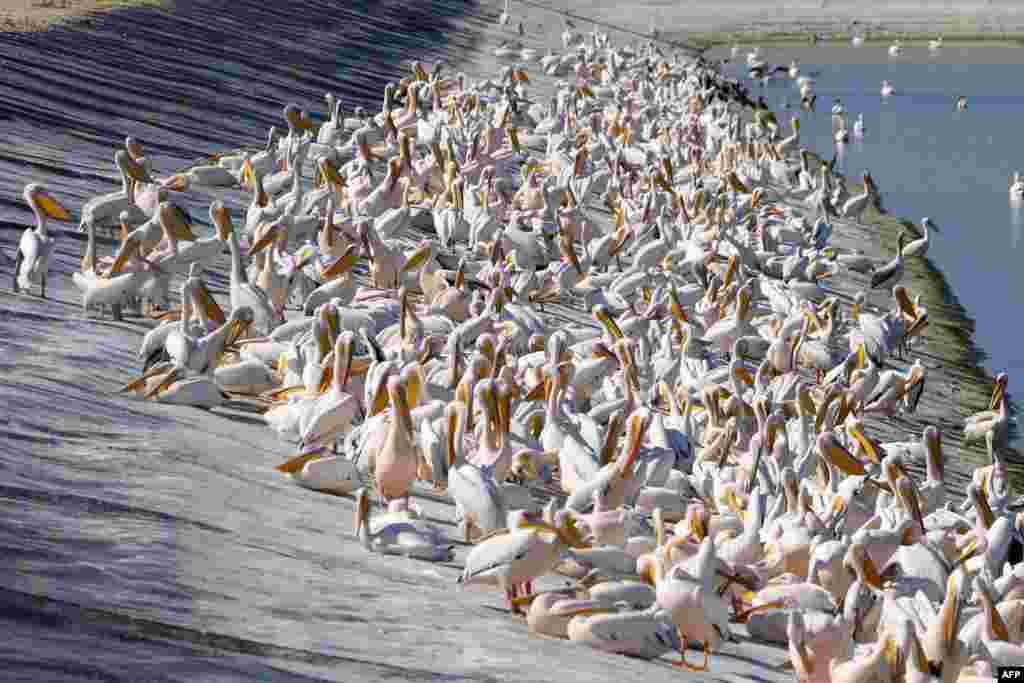 Great white pelicans are pictured at a reservoir in Mishmar HaSharon, north Israel's Mediterranean coastal city of Tel Aviv. Thousands of migrant Pelicans pass though Israel on their way to Africa. They pass through again when they return to Europe in the summer.