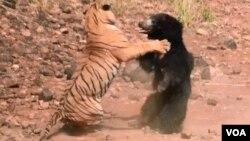 بھارت کے ایک نیشنل پارک تادوبا میں ایک ریچھنی اپنے بچے کو بچانے کے لیے چیتے سے مقابلہ کر رہی ہے۔