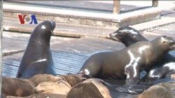 Singa Laut di Pier39, San Francisco - Liputan Feature VOA