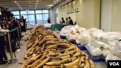 這批走私象牙重約7,200公斤估計市值超過925萬美元 (美國之音特約記者 湯惠芸拍攝)