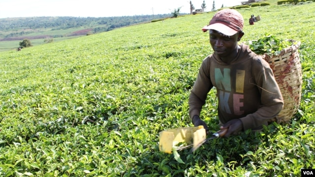 Worker uses plucking shears to pick tea, which tends to reduce quality of the finished product, Uganda, Oct. 2, 2012. (H. Heuler/VOA)