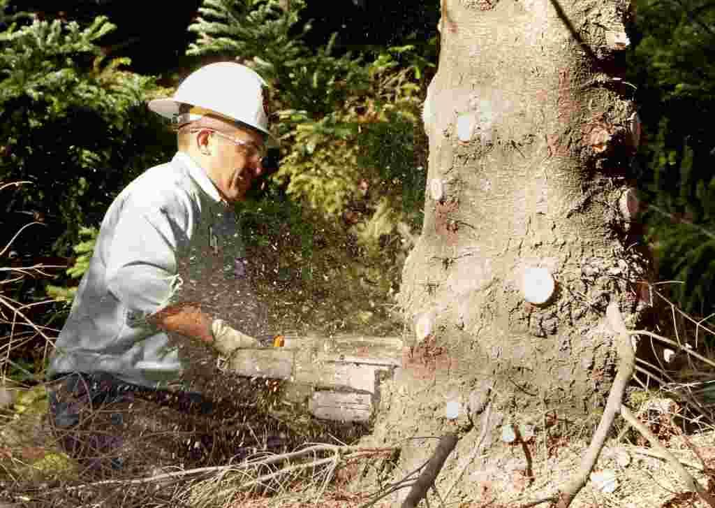 کارگر بخش خدمات عمومی در حال قطع کردن درخت کاج ۱۲ متری در شهر کامینو ایالت کالیفرنیا که برای تزئین به واشنگتن دی سی انتقال داده خواهد شد