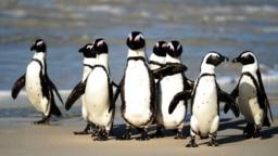 Penguin Afrika, yang juga dikenal dengan nama Penguin Kaki Hitam, tampak berkumpul di Taman Nasional Table Mountain yang terletak antara Simonstown dan Cape Point, di dekat Cape Town, Afrika Selatan, pada foto yang diambil 4 Juli 2010. Kelompok penguin te