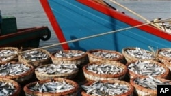 Hasil tangkapan ikan di Pelabuhan Lampulo Banda Aceh (foto: dok). Nelayan Aceh mengeluhkan banyaknya pencurian ikan di perairan Aceh oleh kapal asing.