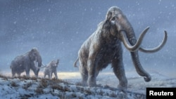 An artist's reconstruction shows the extinct steppe mammoth, an evolutionary predecessor to the woolly mammoth that flourished during the last Ice Age. (Beth Zaiken/Centre for Palaeogenetics/Handout via REUTERS)