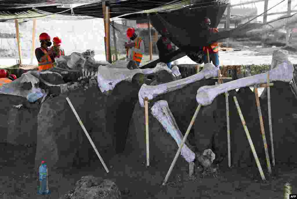 Paleontologists of the National Institute of Anthropology work on the preservation of the skeletons of mammoths found during a recent excavation, at the Santa Lucia Military Base in the Municipality of Zumpango, Mexico, Sept. 8, 2020.