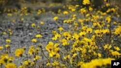 Beautiful brittlebush flowers(Encelia farinosa) in Joshua Tree National Park, California