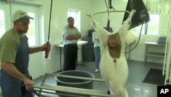 A goat slaughtered according to the Halal tradition at Joe Kavanagh's farm in Mount Airy, Maryland