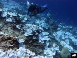 FILE - This May 2016 photo provided by NOAA shows bleaching and some dead coral around Jarvis Island, part of the U.S. Pacific Remote Marine National Monument.