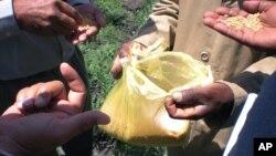 2012年10月10日在埃塞俄比亞舉行非洲小麥糧食安全會議期間,專家檢查塑膠袋中的小麥。