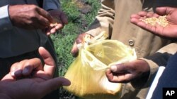 Participants of a field trip in the Wheat for Food Security in Africa conference examining wheat in a plastic bag in Debre Zeit, Ethiopia, Oct. 10, 2012.