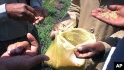 2012年10月10日在埃塞俄比亚举行非洲小麦粮食安全会议期间,专家检查塑胶袋中的小麦。